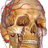Model of skull showing blood vessels